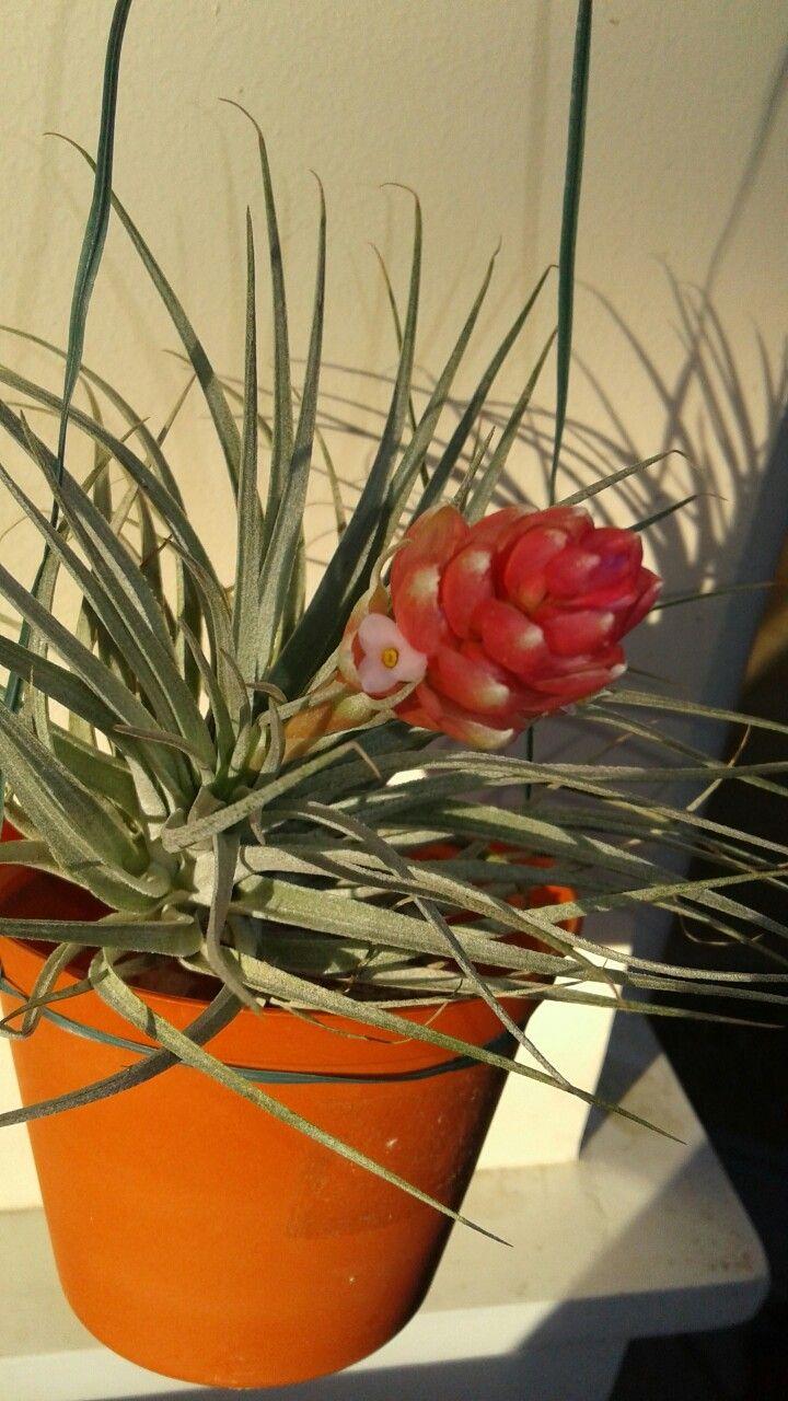 Air plant tillandsia stricta flower in full bloom flower