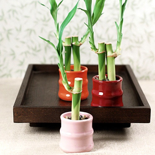 Mini Lucky Bamboo Plants by Beau-coup