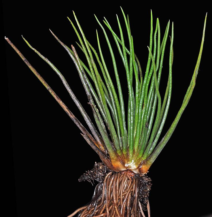 Isoetes occidentalis - Western Quillwort,  scarcely grows rooted to bottom of ponds and lakes in the Coastal Zone of Lane County,  Oregon,  USA.