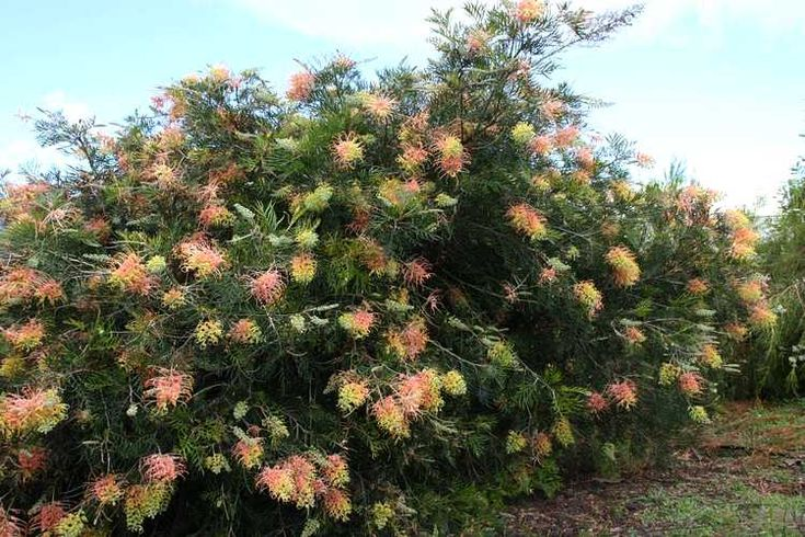 Grevillea Peaches and Cream. http://www.smgrowers.com/products/plants/plantdisplay.asp?strSearchText=grevillea&plant_id=3911&page=