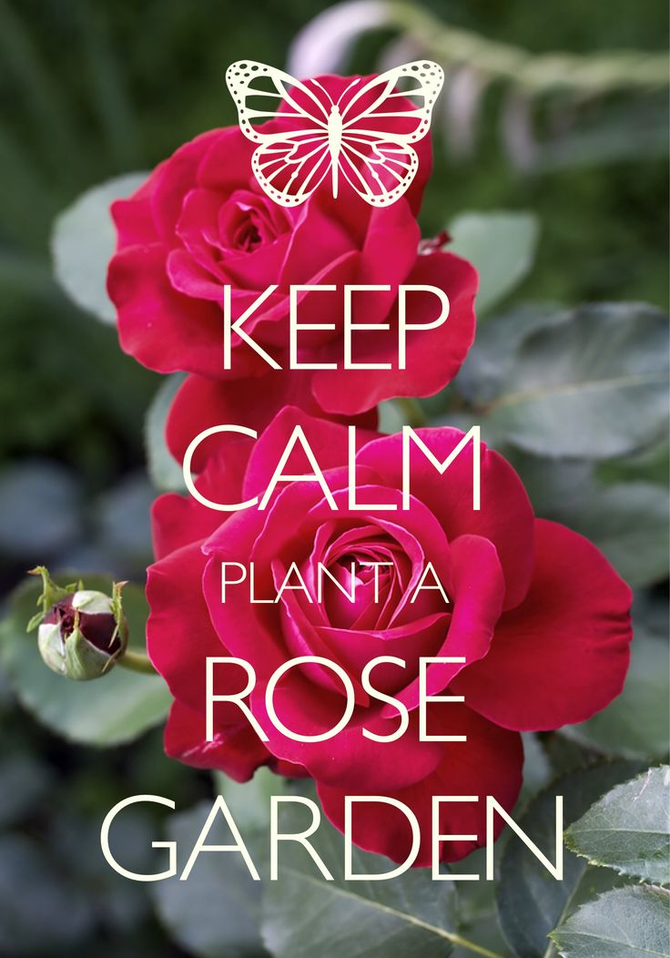 keep calm and plant a rose garden / Created with Keep Calm and Carry On for iOS #keepcalm #rosegarden
