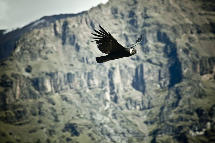 The master of heights is in Peru.The Andean Condor, magical and masterful!