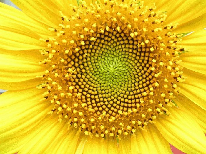 fibonacci in nature--not just in a Nautilus shell, but seen throughout nature. Could this happen by chance?