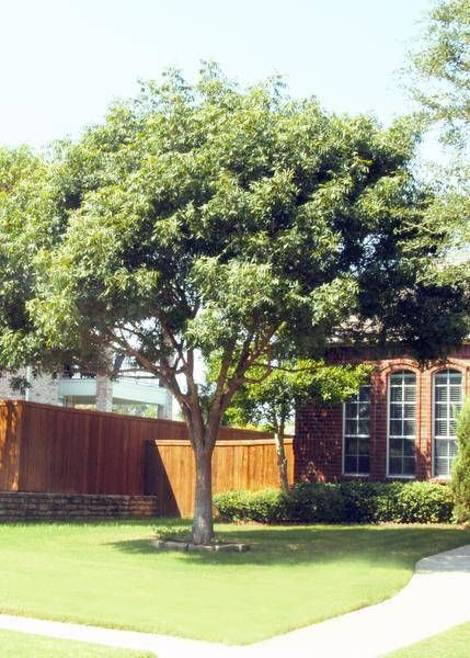 So you think you want a fast-growing shade tree? When I'm asked to recommend the best from that bunch, I always tell people that they need to look at the bigger picture.