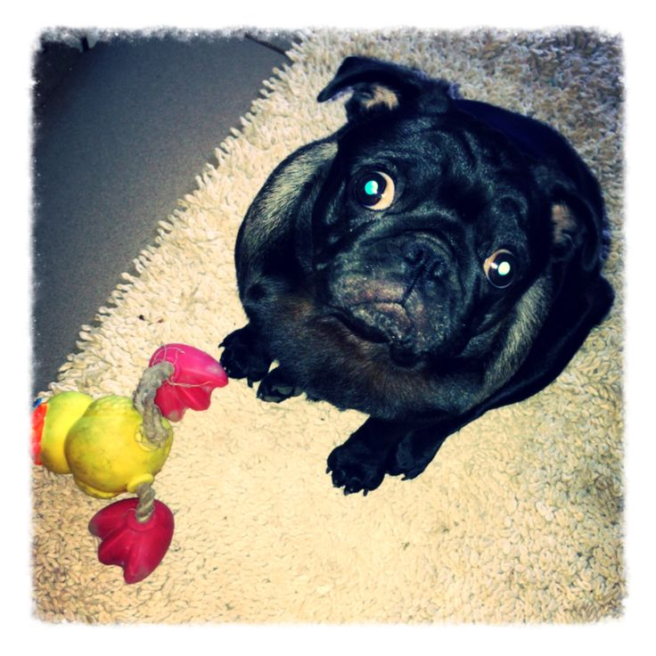Matilda and her toy Duckie   #pug
