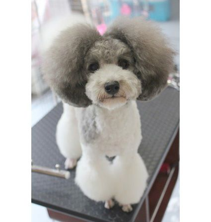 Pompon ears  gray white poodle