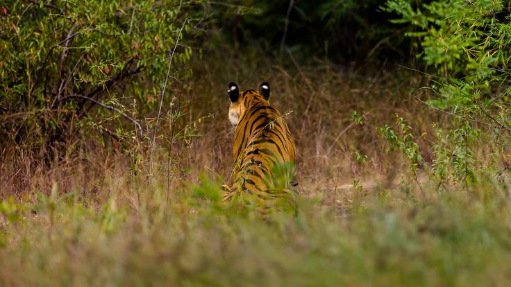 """Listening to the jungle - A tiger was eyeing nearby spotted deer that fled with alarm calls. The """"eyes"""" at the back of the tigers ears make a interesting picture."""