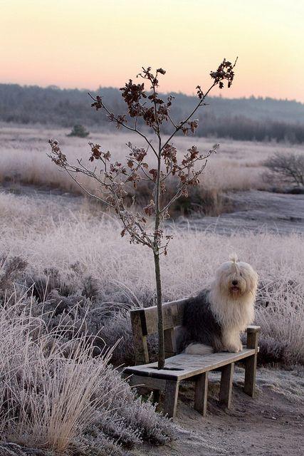 Someday I'm getting  an Old English Sheepdog.