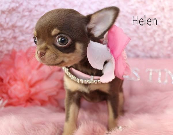 Puppy For Sale Chihuahua Puppies Cute Baby Animals Cute Animals