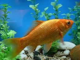 Bildergebnis für goldfische im aquarium