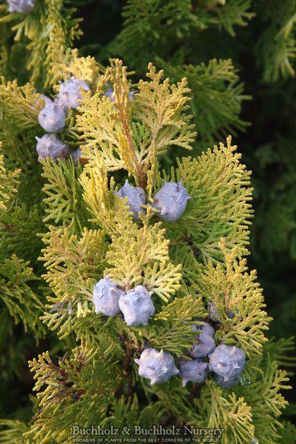 Kigi Nursery - Thuja orientalis ' Weedom ' Dwarf Narrow Chinese Arborvitae, $20.00 (http://www.kiginursery.com/dwarf-miniatures/thuja-orientalis-weedom-dwarf-narrow-chinese-arborvitae/)