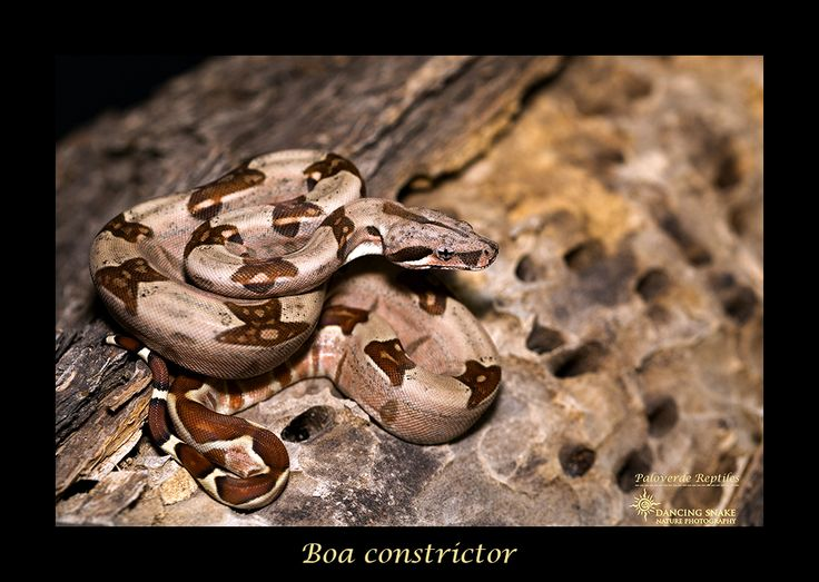 Boa Constrictor - Courtesy of Palo Verde Reptiles Tucson Reptile Show Photography Workshop 2017 ©R.C. Clark: Dancing Snake Nature Photography All rights reserved #DancingSnakeNaturePhotography, #reptiles, #TucsonReptileShow2017, #PhotographyWorkshop