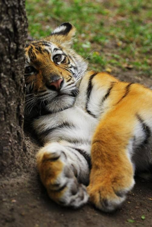 What are you looking at cant a tiger get some sleep around here see this is why I moved out of the zoo