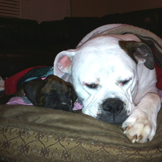 Winslow the boxer and Jinx the American bull dog :) BFFs