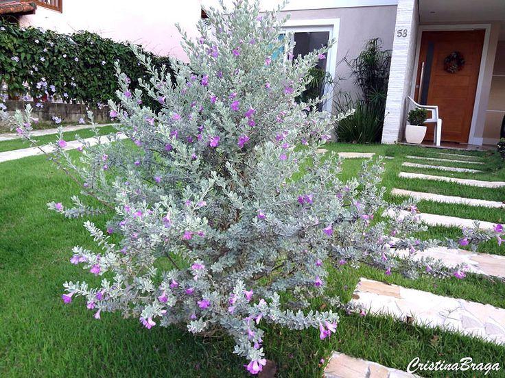 Folha de prata – Leucophyllum frutescens - Arbusto com folhas alvas, verde-cinza prateado e flores branca, rosa ...