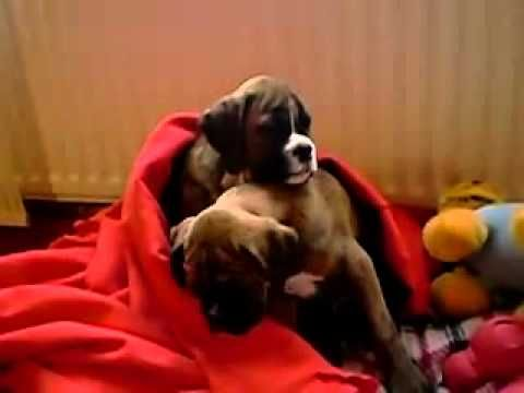 Funny Video-Sleepy Boxer Puppies Can't Stay Awake