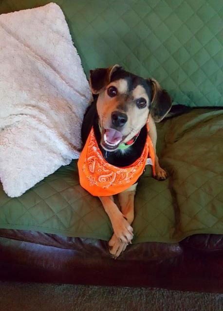 Austin is an adoptable Beagle searching for a forever family near Tulsa, OK. Use Petfinder to find adoptable pets in your area.