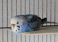 budgie expressions - Google Search