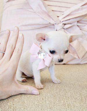 Micro Teacup White Chihuahua