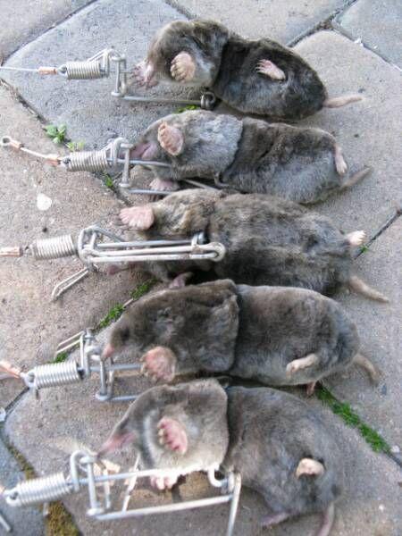 1000 images about voles gotta go on pinterest gardens mouse traps