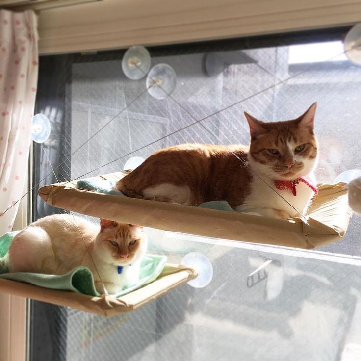 気温は低いけどお日さまはピカピカ! 光合成中☀️ #cat #cats #猫 #白猫 #茶白 #多頭飼い #fuandkey #ハンモック猫 #ハンモックふぅちゃん #ハンモックキーくん