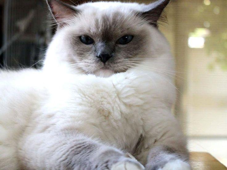 RAgdoll Fluffy Cat Breeds