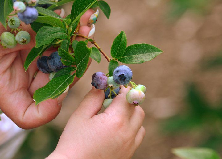 UPICK Blueberries are perfect for little hands!