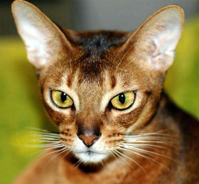 Infos pratiques sur la race de chat Abyssin : pers...