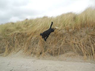 Dog walks: Bull Island Dog jumping from the dunes | A dog's paw