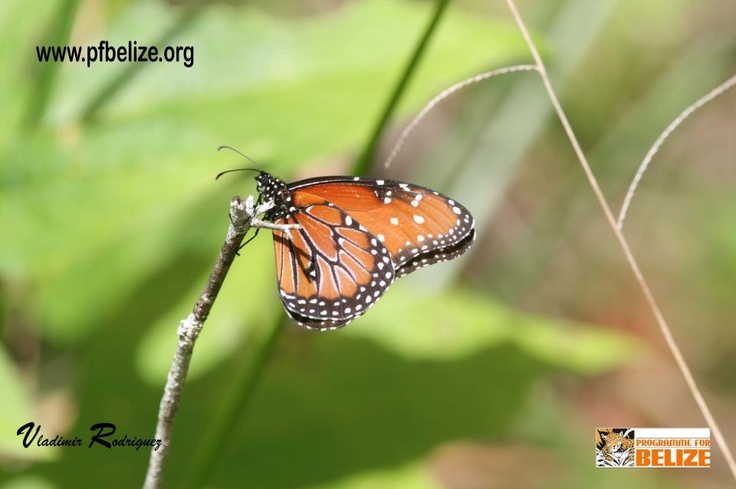 The queen butterfly found at the Rio Bravo Conservation and Management Area (RBCMA), a private conservation area owned and held in trust for the people of Belize by Programme for Belize (PfB).