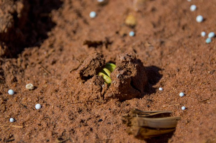 Baby bean breaking through the surface at Shelamar Station, Australia. Photography by Dan Wood as part of the Beerenberg Provenance Project.