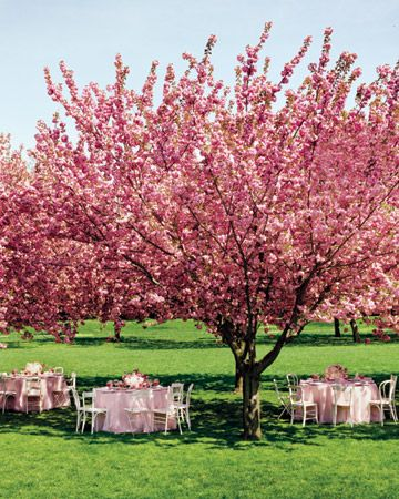 Outside tea party :)Flower Tre, Wedding Receptions, Cherries Trees, Spring Wedding, Cherries Blossoms Wedding, Pink, Martha Stewart, Blossoms Trees, Cherry Blossoms