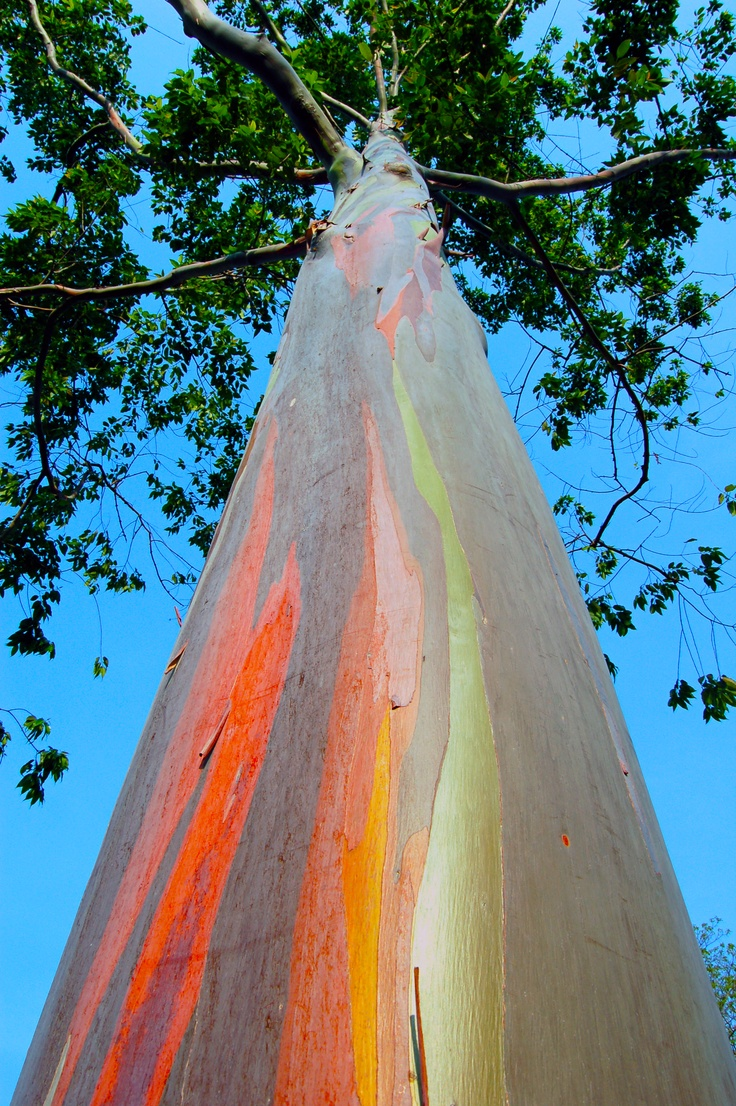 Have you ever heard of the Rainbow Eucalyptus trees that grow on the slopes of Mount Hale'akala? Truly amazing!