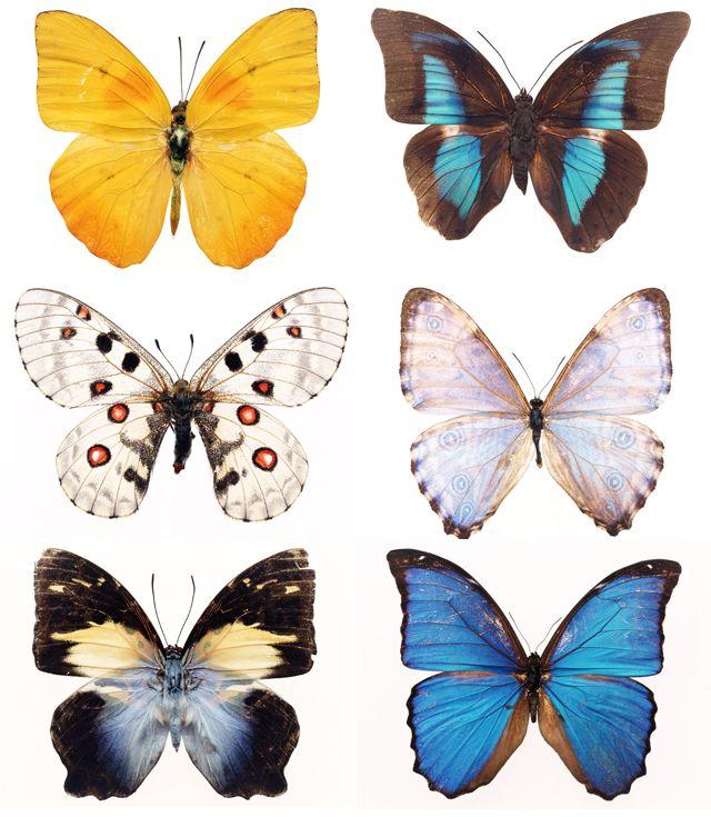 Тюльпаны, коллаж, бабочка, мотылек, крылья, цветы