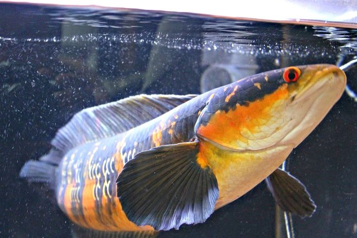 """Dragon ball"" The Super Red Kalimantan Emperor Snakehead Fish – Snakehead Paradise"