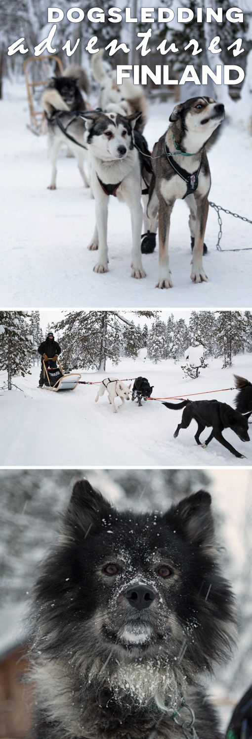 Over 300 kilometers north of the Arctic circle in Lapland, Finland lies Hetta, home of Hetta Huskies. The husky farm has 150 husky dogs and took us far out into the Arctic wilderness. We covered over 60 kilometers in two days with the dogs and the scenery was incredible. Click the post to continue reading.