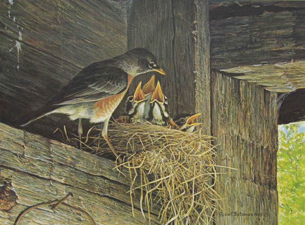 Robins at The Nest, Robert Bateman . [May was the time we could see the 3 (or chicks in the nest against our house.