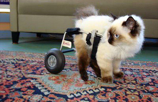 Cat wheelchairs can help cats with mobility problems, and