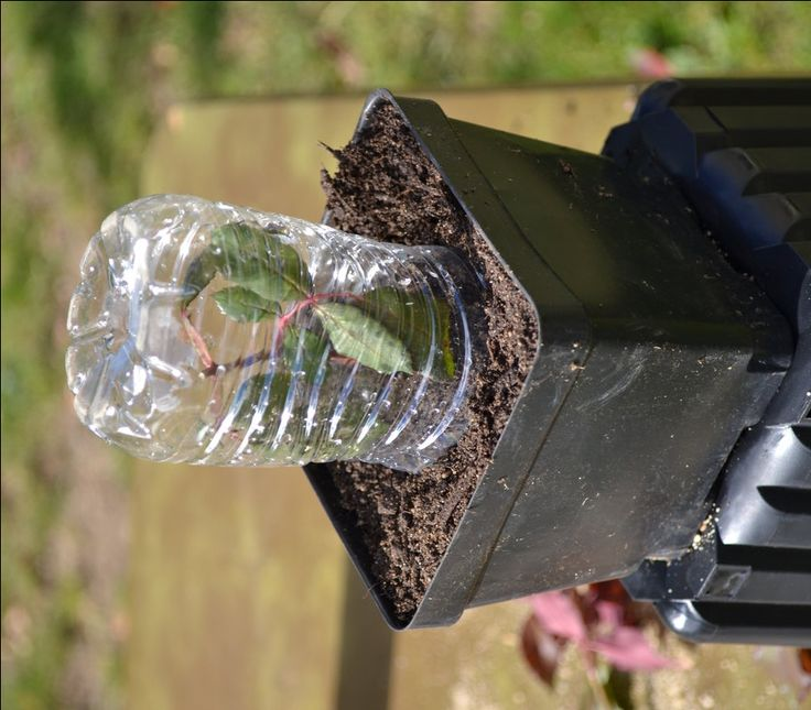 Growing Roses from Rose clippings. Using a water bottle as a little greenhouse to root rose cuttings.