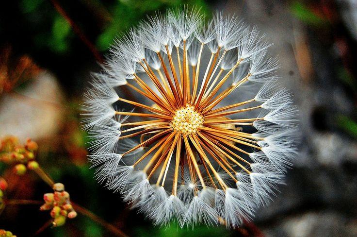 Dandelion For Fae :)