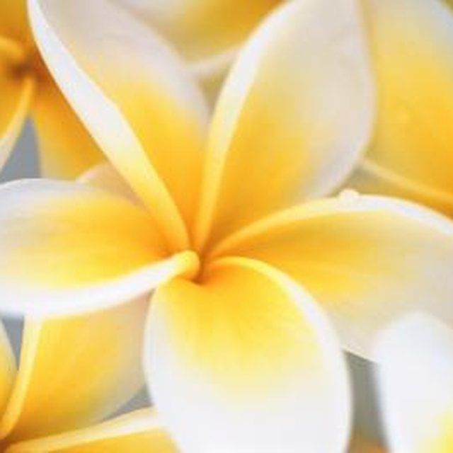 Plumaria blooms are easiest to work with when making a haku lei.