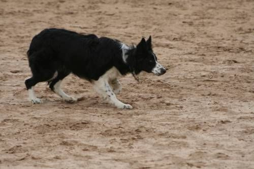 Chris Knight 8 month old female Border Collie for Sale - For more information click on the image or see ad # 36002 on www.RanchWorldAds.com