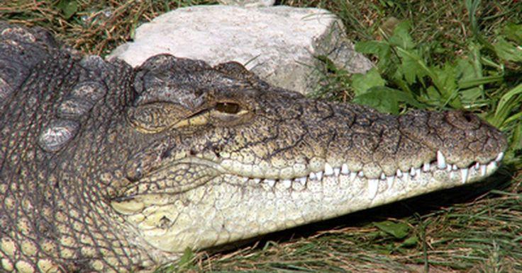 Información sobre cocodrilos para niños. Los cocodrilos pertenecen al grupo de los crocodílidos, los cuales incluyen a los aligátores, caimanes y gaviales (cocodrilos de hocico largo). Los cocodrilos viven en climas cálidos y disfrutan del agua salada. Estas criaturas comen carne y acechan en el agua, esperando pacientemente a que su presa pase nadando. Pueden pasar horas acechando a su ...