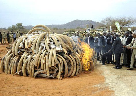 Overheid verbrand alle gevonden slagtanden