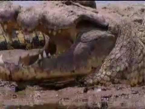 Gustave - The Giant Crocodile of Burundi