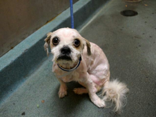 CHARLIE- TO BE DESTROYED TODAY BY NYC ACC - WED. -11/30/16- AVAILABLE AT BROOKLYN ACC - #A1097834.