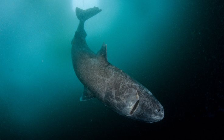 Greenland Shark can live 400 years
