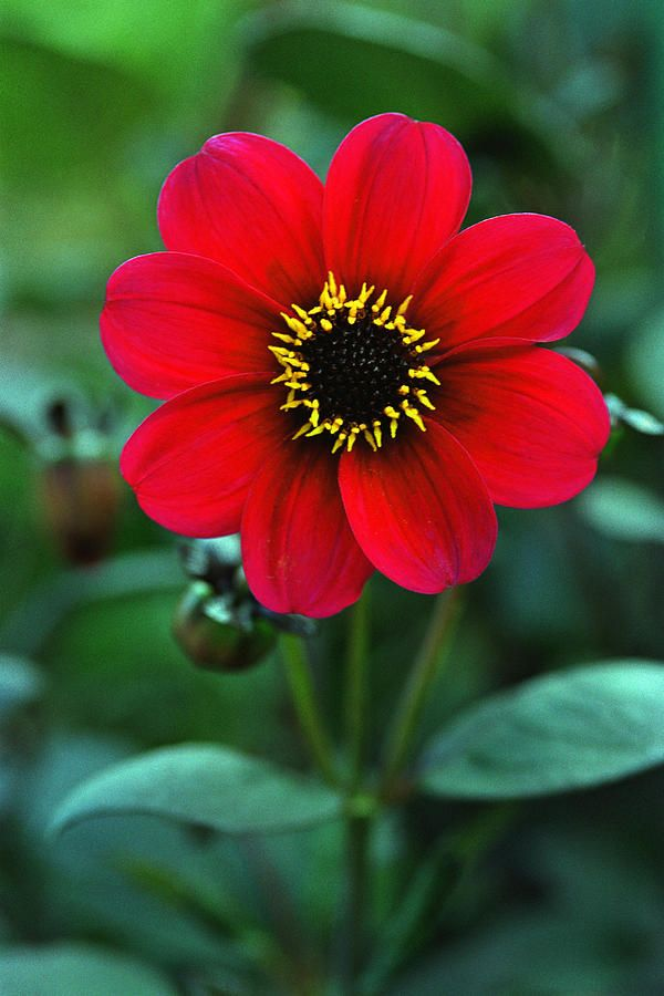 Red Flower -- photo: Corey Hochachka