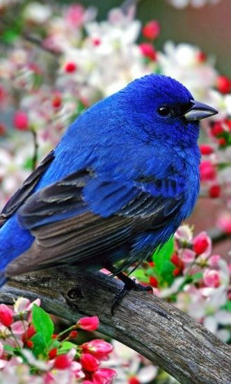 Indigo Bunting ... small seed-eating bird in the family Cardinalidae. It is migratory, ranging from southern Canada to northern Florida during the breeding season, and from southern Florida to northern South America during the winter.