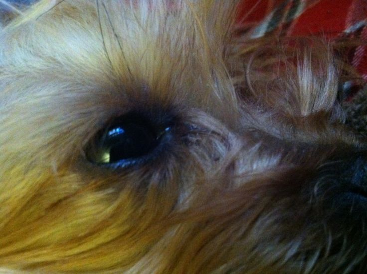 Getting rid of tear stains yorkie haircuts yorkie dogs